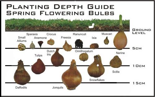 x-bulb-planting-depth-guide.jpg
