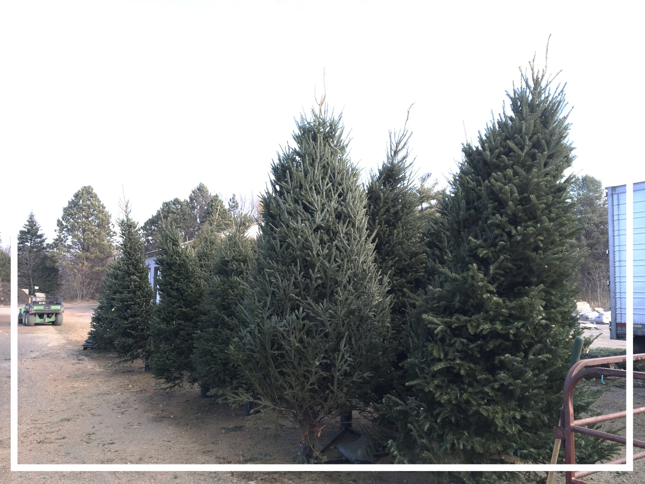 Plantable Christmas Tree.Christmas Trees The Mustard Seed