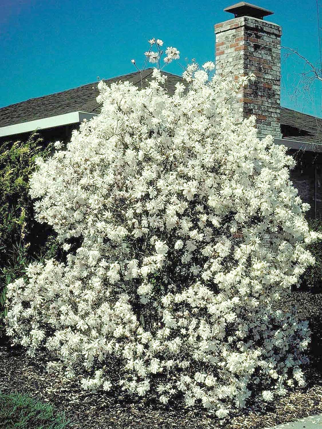 Magnolia stellata 'Royal Star'1.jpg