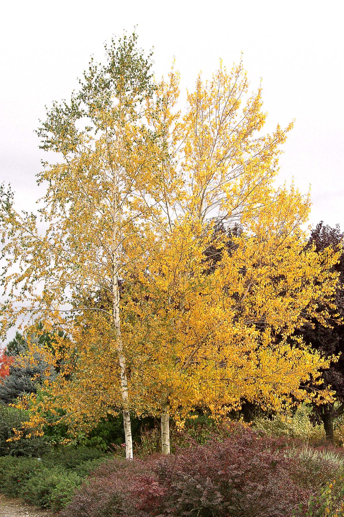 Betula populifolia 'Whitespire' (B. platyphylla japonica)3.jpg