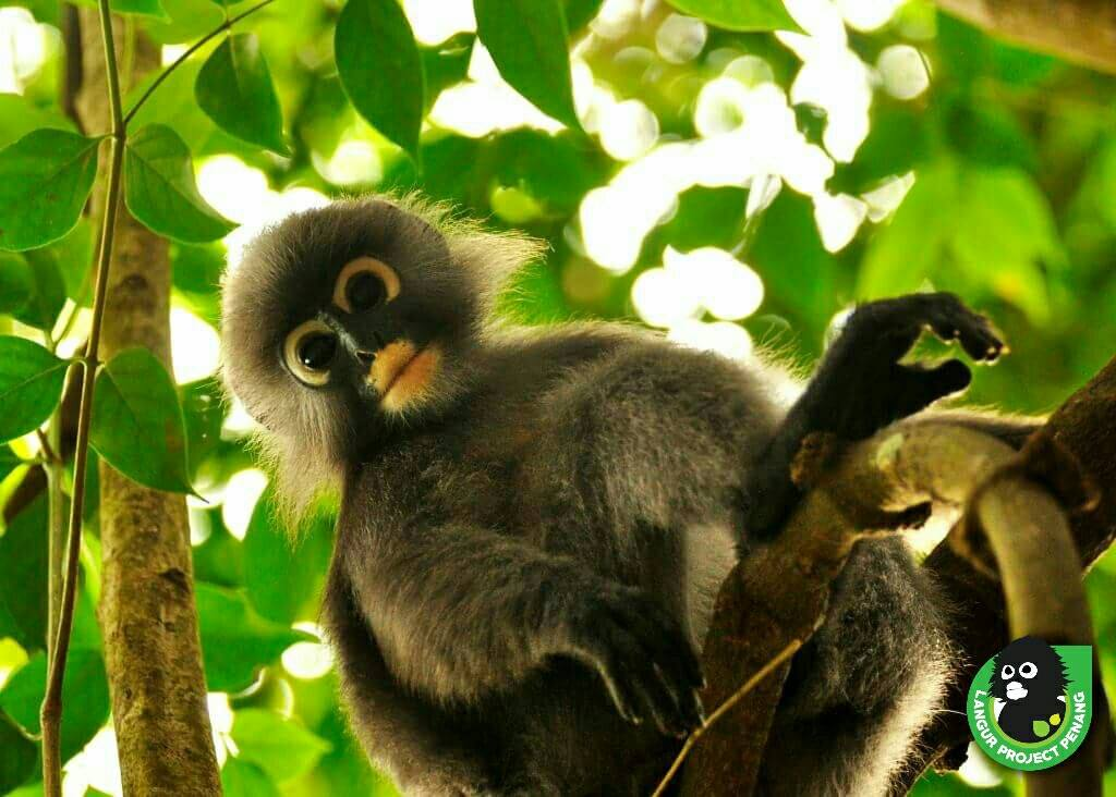 Te Piek - the bright-eyed and confident little langur