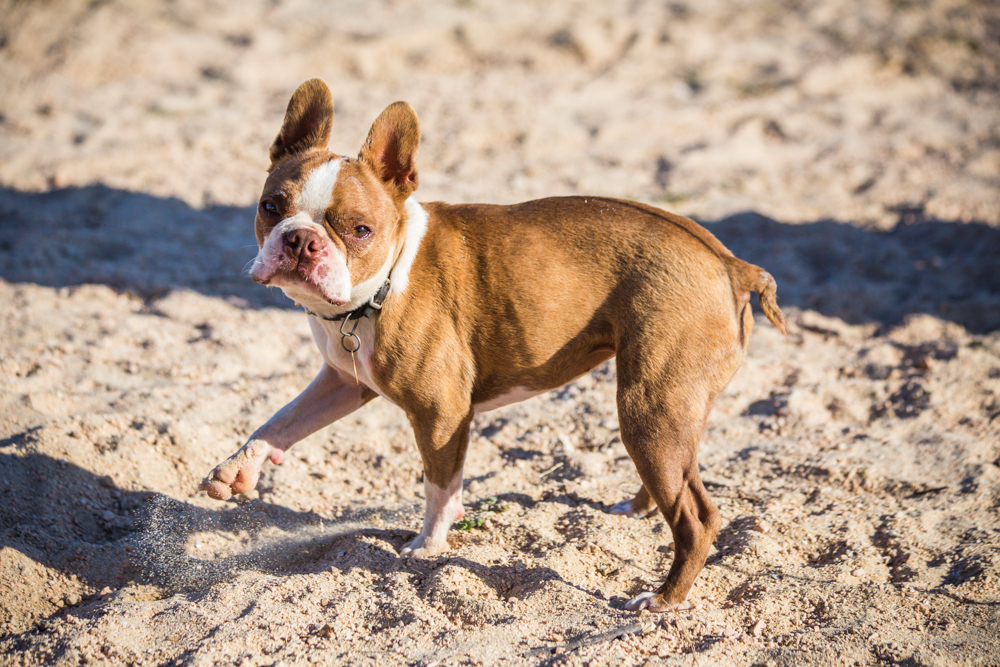 Stinker the Boston terrier with cerebral palsy. Everywhere she went she kicked sand. Everywhere.