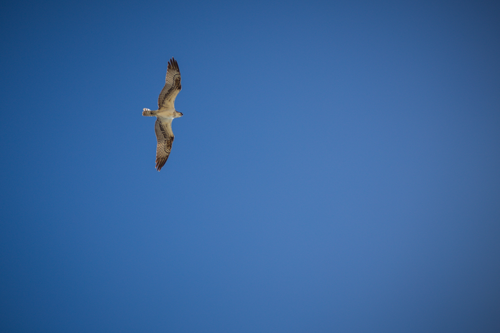 OSPREYS ARE ONE REASON WE DON'T LET LOULOU WANDER AROUND WITHOUT HUMAN SUPERVISION.