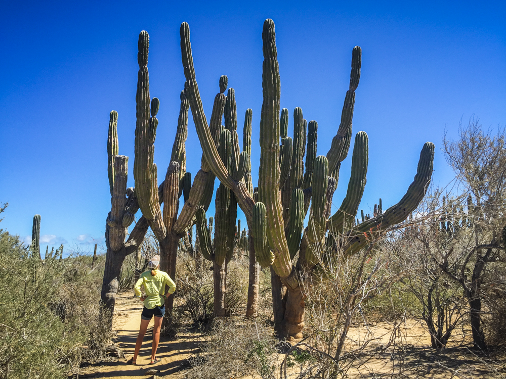 Some of the cacti were just huge, with many limbs.