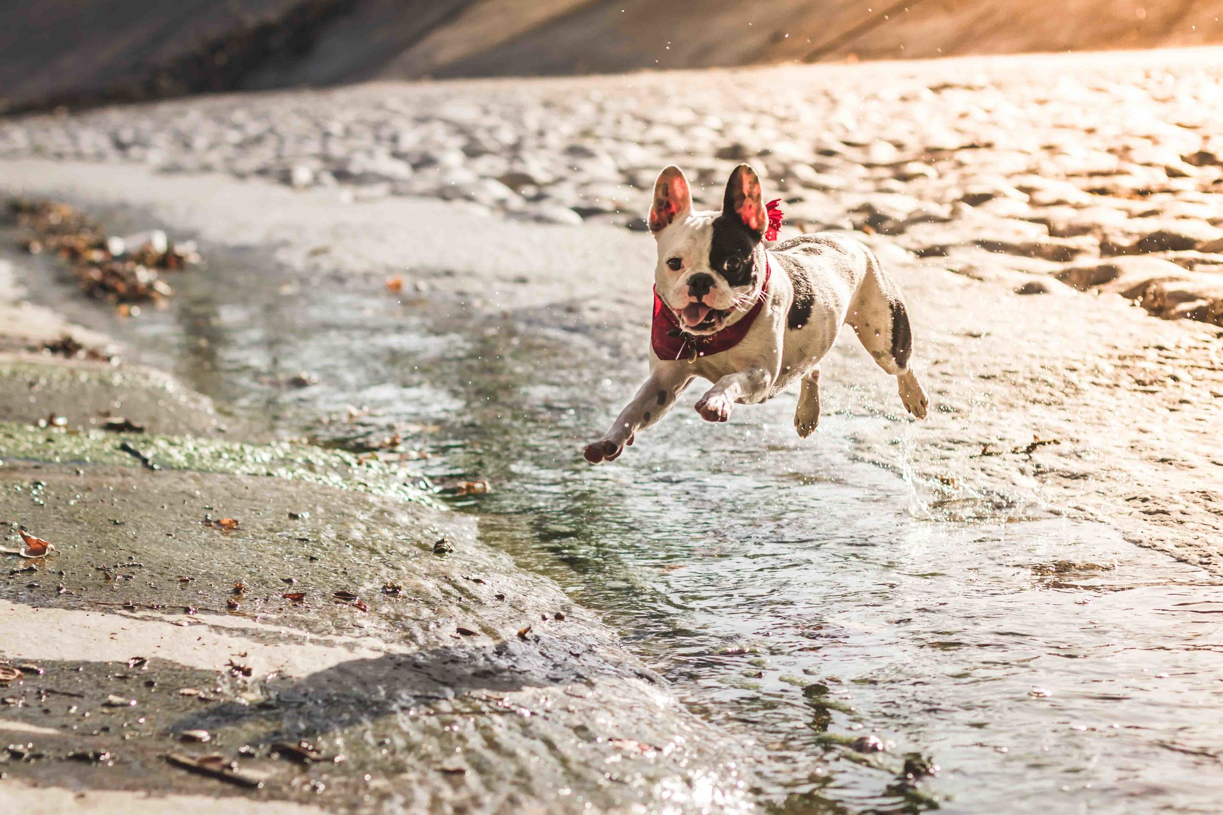 dog-photography-pets-by-sorrell-frenchie-motion-jump-sunset.jpg