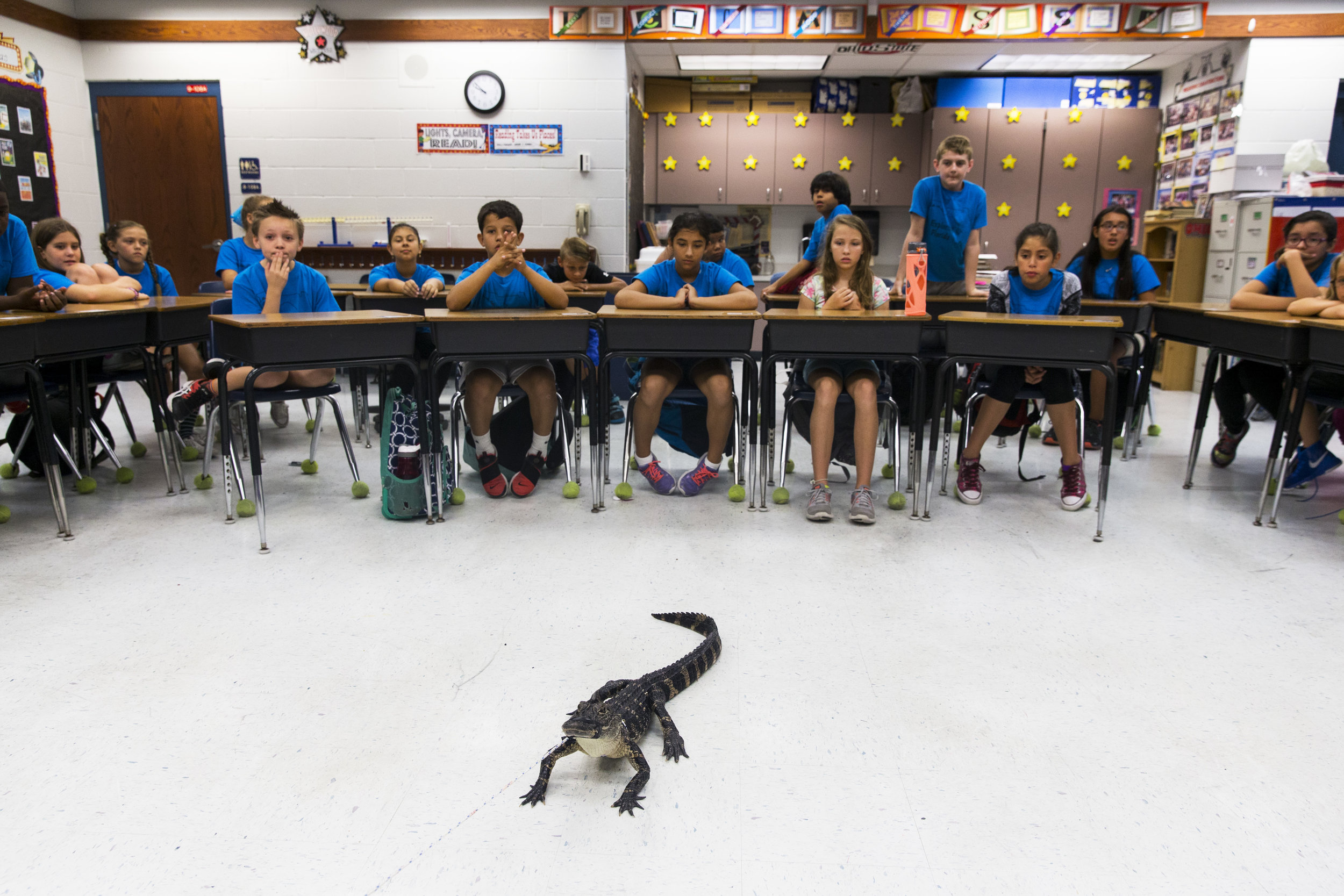 "Spike the alligator sits in the middle of the classroom during an ""Alligator 101"" presentation by FWC alligator trapper Ray Simonsen at Laurel Oak Elementary on May 25, 2017."