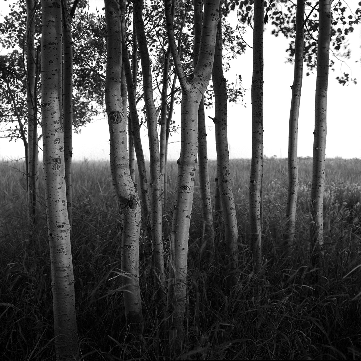 Trees on nose hill