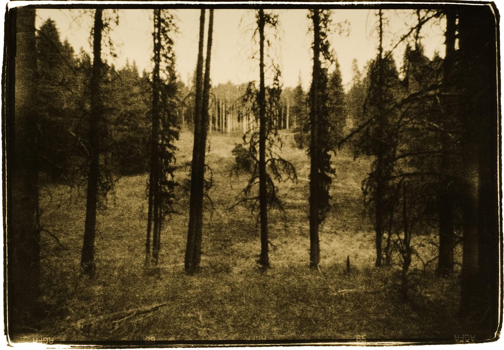 Trees, Banff