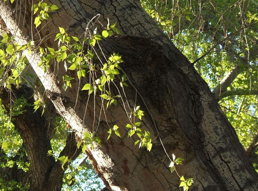 Morning light on cottonwood leaves outside my studio. photo credit: Elizabeth J. Buckley  ©2015