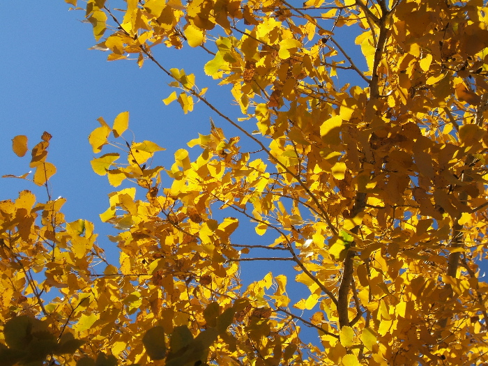 Cottonwood leaves outside my studio. Photo credit: Elizabeth J. Buckley  © 2016