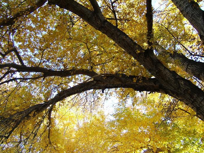 Cottonwood tree outside my studio, near the  acequia  (irrigation ditch). Photo credit: Elizabeth J. Buckley  © 2016