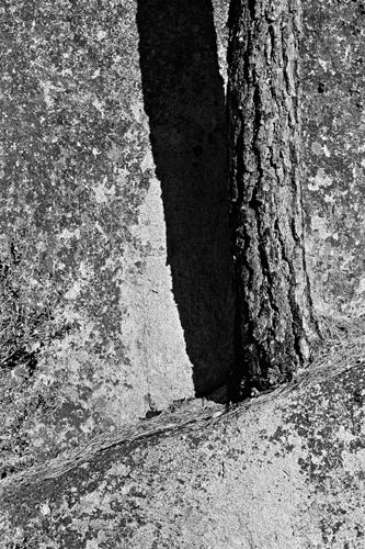 Tree-Stannislaus-web.jpg