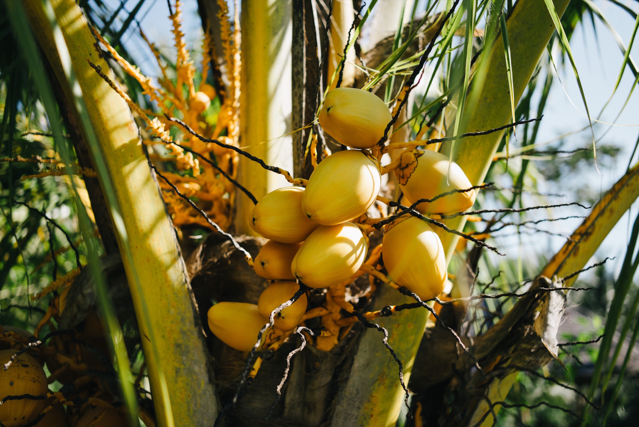 Yellow coconuts growing between the villas.