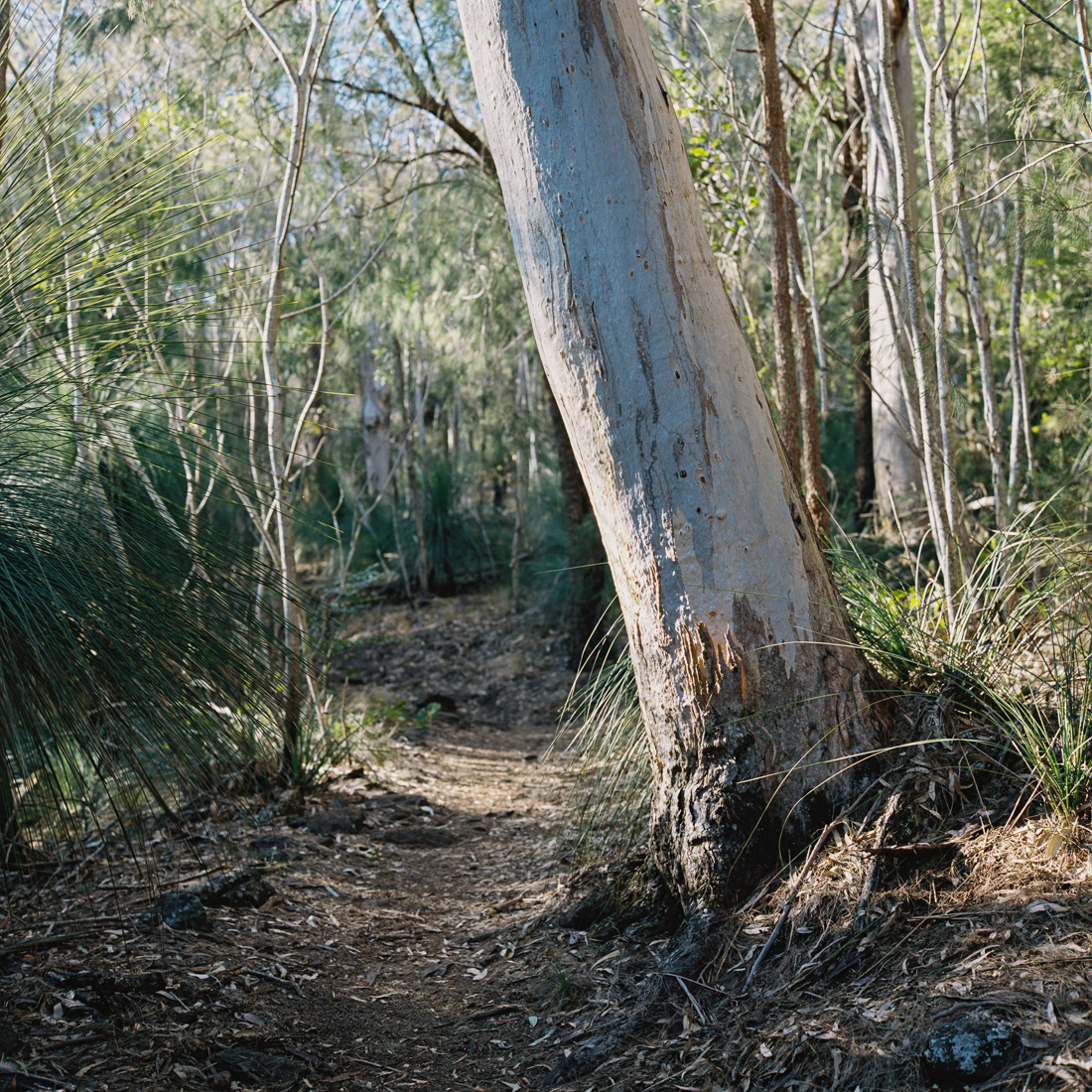 Grey gums and Australian forests.