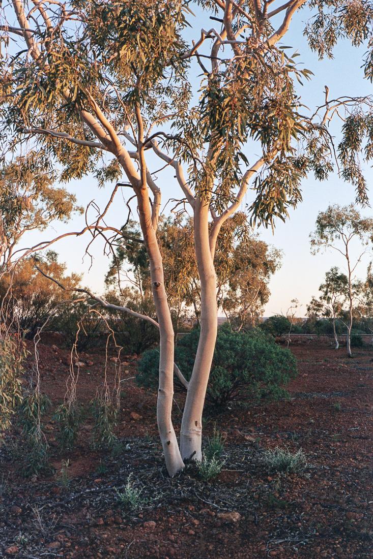 Eucalypt trees on Kodak Portra are my favourite.