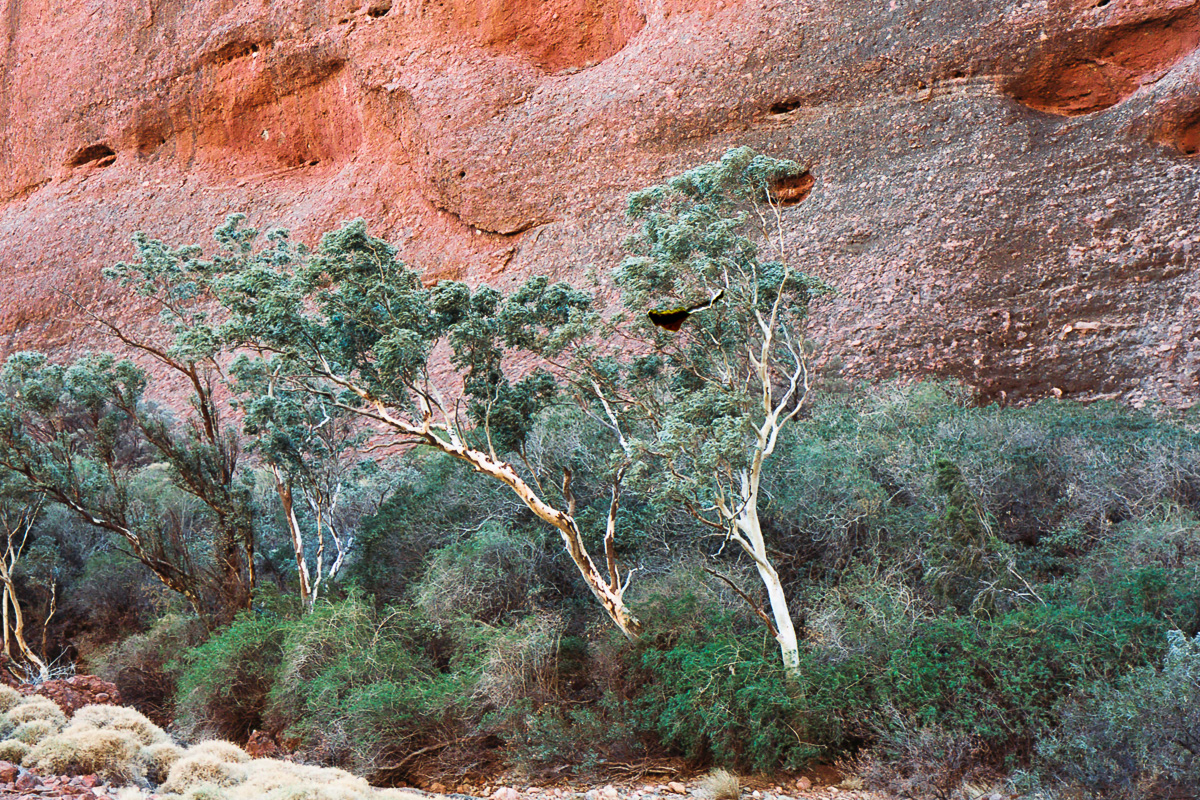Trees in The Olgas.