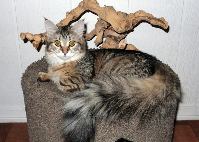 Siberian_Cat3.jpg
