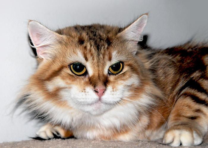 Siberian_Cat4.jpg