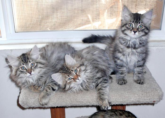 Siberian_Cat5.jpg