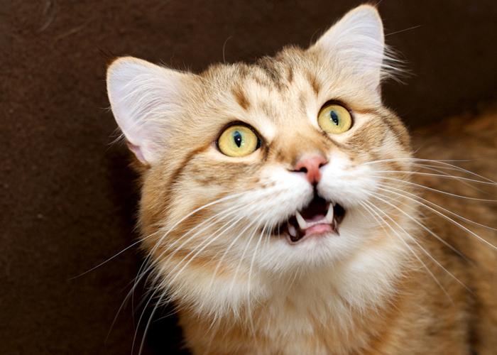 Siberian_Cat11.jpg