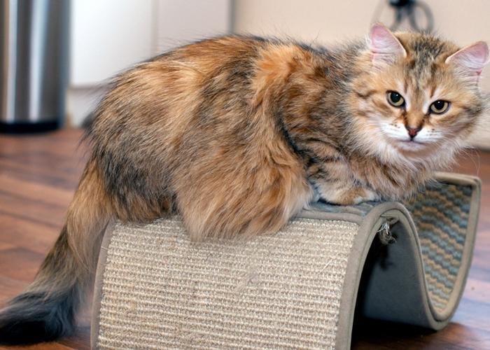 Siberian_Cat15.jpg
