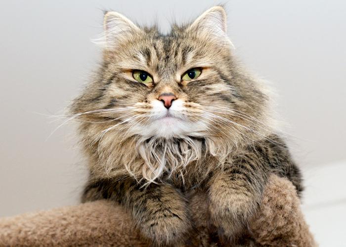 Siberian_Cat16.jpg