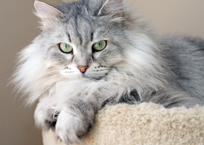 Siberian_Cat17.jpg
