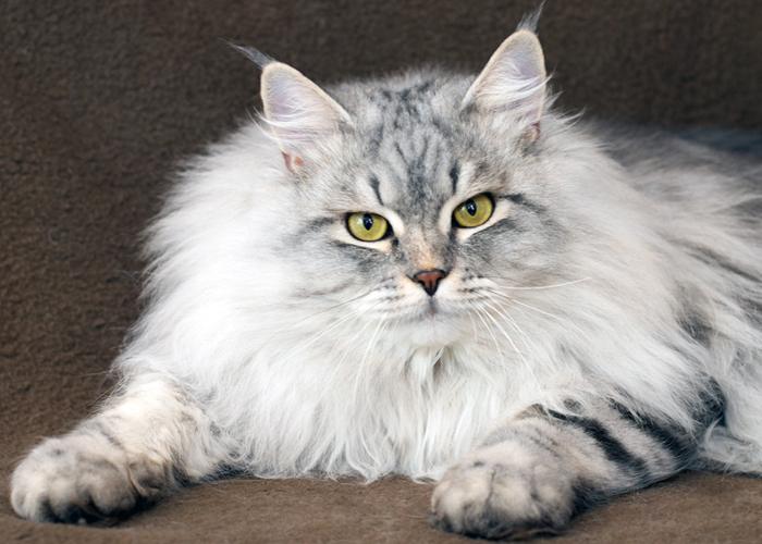 Siberian_Cat18.jpg
