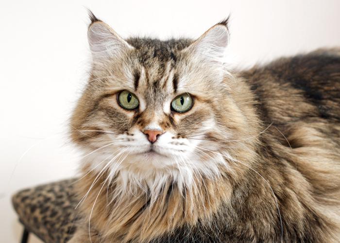 Siberian_Cat19.jpg