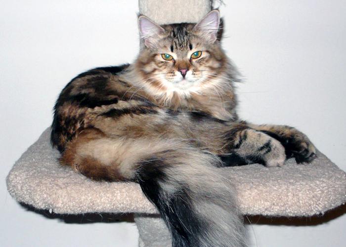 Siberian_Cat20.jpg