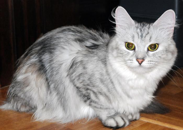 Siberian_Cat22.jpg