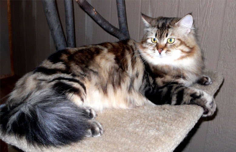 Charlie of Siberian Beauty Cattery; 2014 SW Regional Winner of Best Siberian of the Year