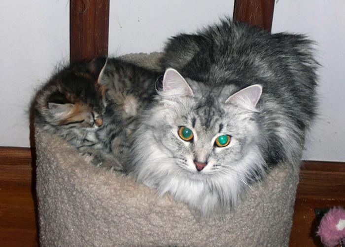 Siberian_Cat25.jpg