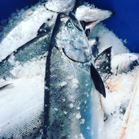 Fresh line caught Chinook Salmon