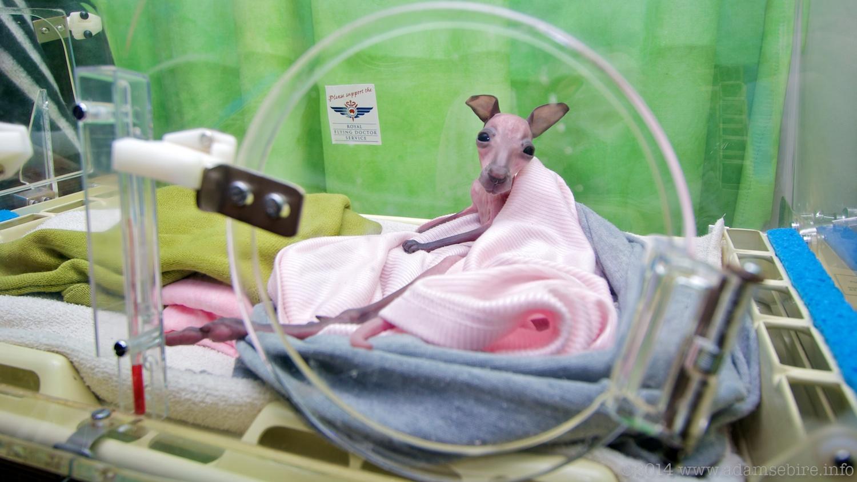 Kangaroo Joey in decommissioned RFDS humidicrib