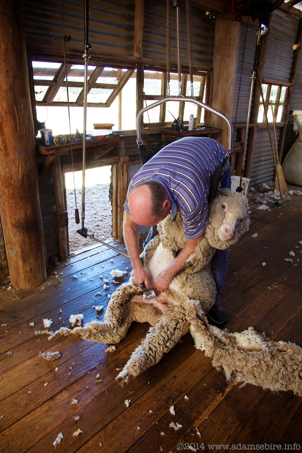 Merino sheep shearing, Cochabonddu / Valona, NSW