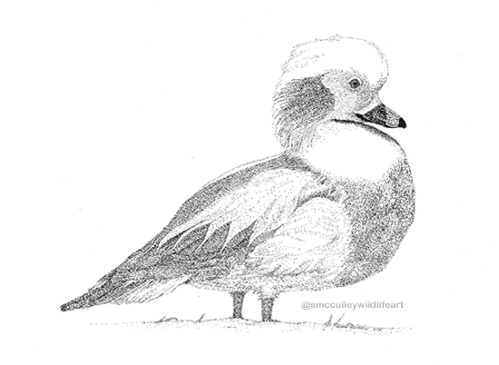 pen and ink Oldsquaw for site.jpg