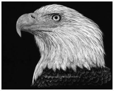 Bald Eagle - scratchboard
