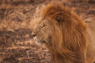 wildlife-mammal-mane-predator-fauna-savanna-146723-pxhere.com.jpg