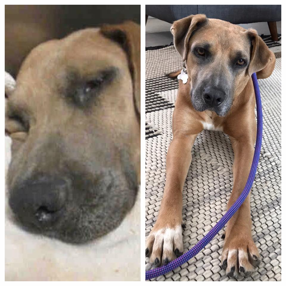 In September 2016  Chloe  came into the shelter as a stray with her puppy. By the time we got there, her puppy was adopted and Chloe was in the medical building with her leg bandaged up and on heavy-duty pain meds. The shelter literally carried her to our car and we drove her straight to our pals at Stonecreek. The news was not good. Her leg had a huge gash, to the bone, and it had atrophied. Amputation was discussed. It was decided to wait until the gash healed before making any decisions. Thanks to foster mom, Kerry, she started to use the leg again. When Kerry had to go out of town on business, Chloe moved to Mary & Nick's place in San Diego. It was determined that she had a bone infection and antibiotics cleared things up. Along the way, Miss Smartypants channeled Houdini once or twice, taking a couple of years off her foster mom's, foster-to-be-mom's, foster-to-adopt mom's and transporter's lives. She also let us know that she would prefer a home where the people are there a lot and/or another dog for company. She learned to walk nicely on leash, how to socialize with other dogs and ignore yappy ones, and to share attention. After a couple of unsuccessful attempts at placement, we were excited to receive an application from Lior and family, who had Nash, an 8lb rescue who had not been around too many dogs, plus 3 young boys between 6 and 10. After a careful and patient introduction, today Chloe has all the attention she wants from a lovely family and she is finally living the life we all imagined for her.