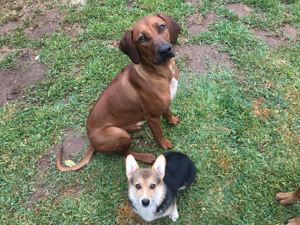 "Remember Lucy & Rosie, the sisters we rescued from Apple Valley shelter in September 2018? We asked experienced RR volunteers to help us evaluate them and, after much observation of their interactions with each other and other dogs, made the decision to separate Lucy and Rosie. Rosie was too protective of Lucy and we thought they would thrive if they were given the chance to socialize and forms bonds separately. Lucy is now known as ""Tiki"" and is the newest member of the ""Polynesian Pack"" along with big sister Hula and Mai Tai, the Corgi. A classic foster fail, mom Linnea reports that ""she has blended seamlessly into the pack and picked up the routine very quickly. She wags her tail more than any ridgeback I've met."" She runs And plays through the backyard with Hula and plays tug with Mai Tai. Thank you to fosters Jedda and Gerry (and R&F alum Spencer Amadeus), as well as Linnea, Sara, and Helen for the evaluations and assistance."