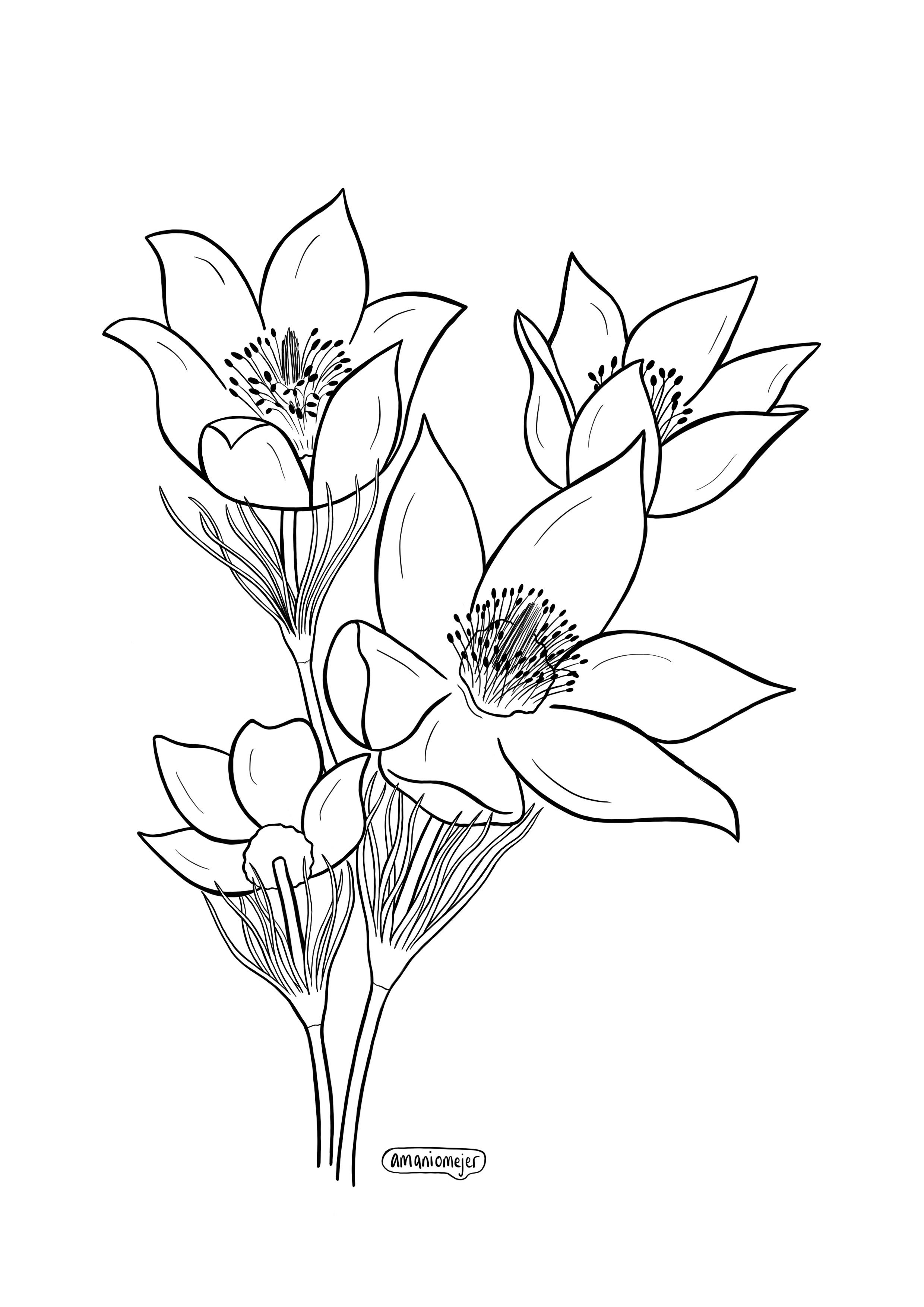 Pasque Flower.