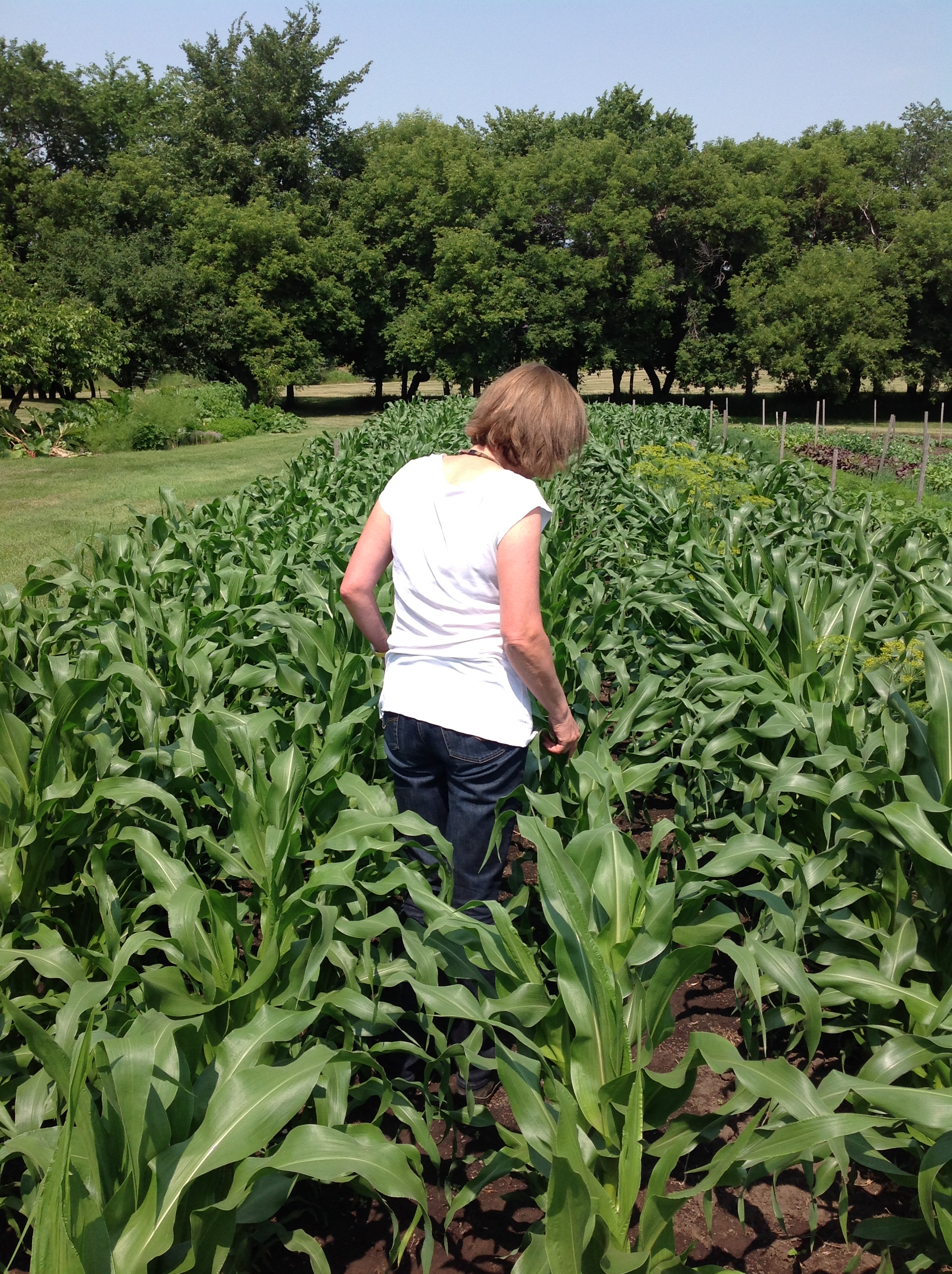 Normal plants should grow fast with dark green healthy leaves. Corn will tell you if it is hungry by turning very light green. If so, feed again.