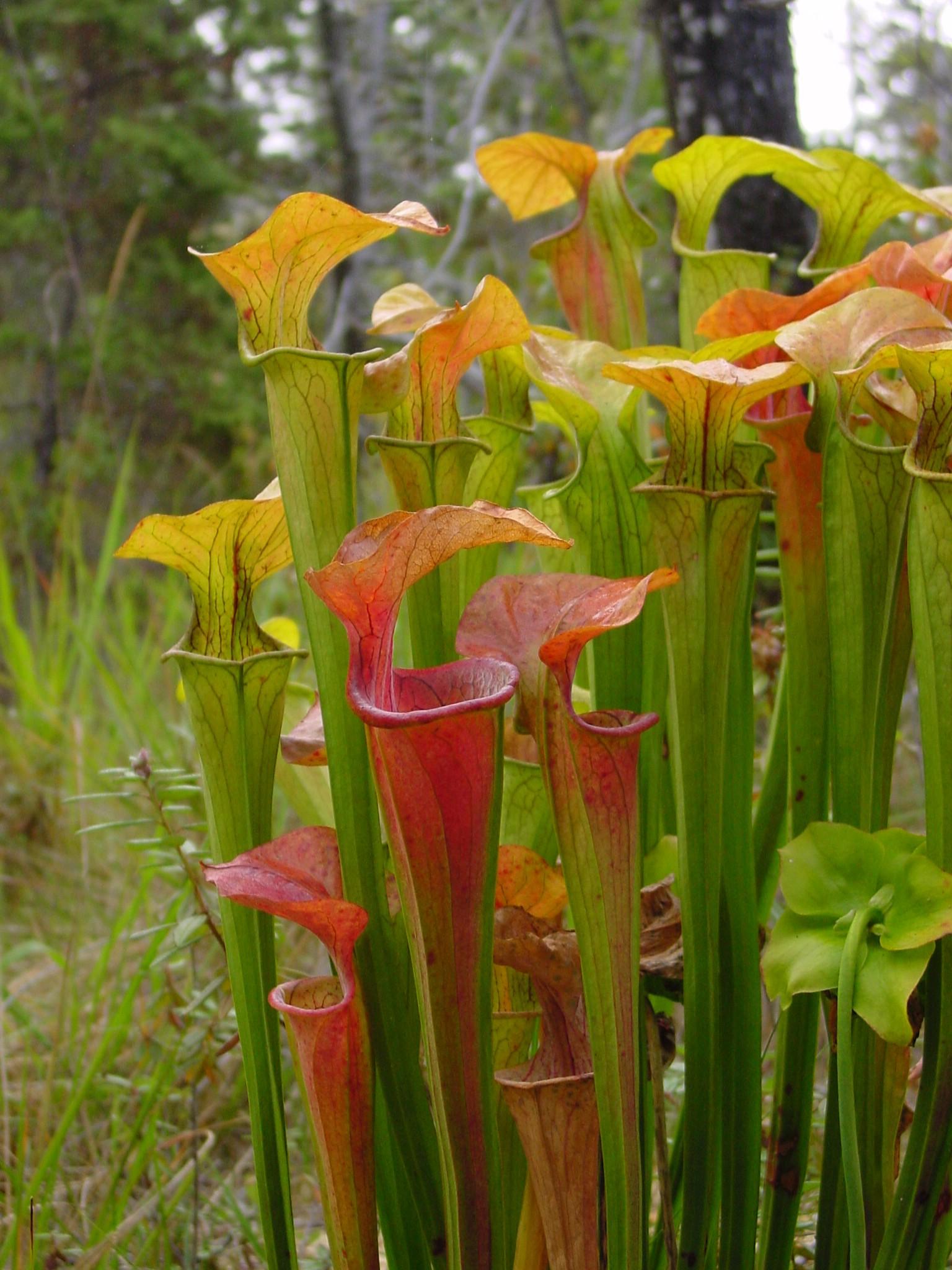 Sarracenia_oreophila_ne2.jpg