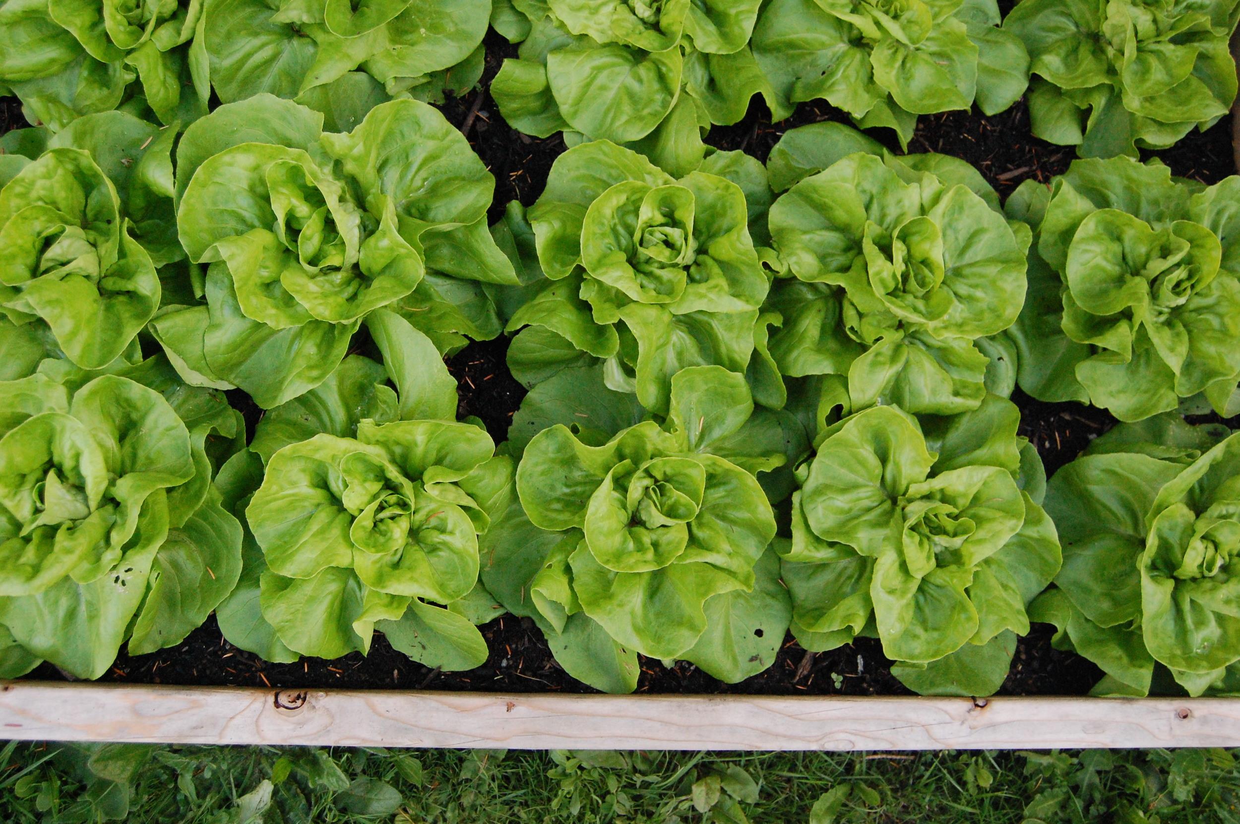Garden-Babies-Butterhead-lettuce-Edmonton-st-albert