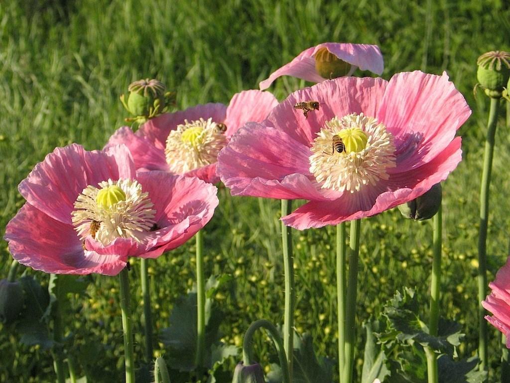Hungarian-breadseed-poppy-edmonton-stalbert