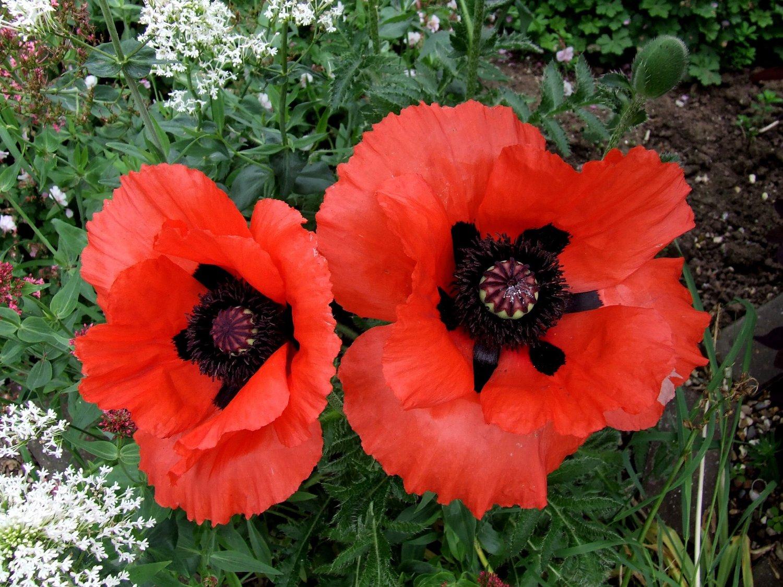 Oriental-brilliant-scarlet-red-poppy-edmonton-stalbert