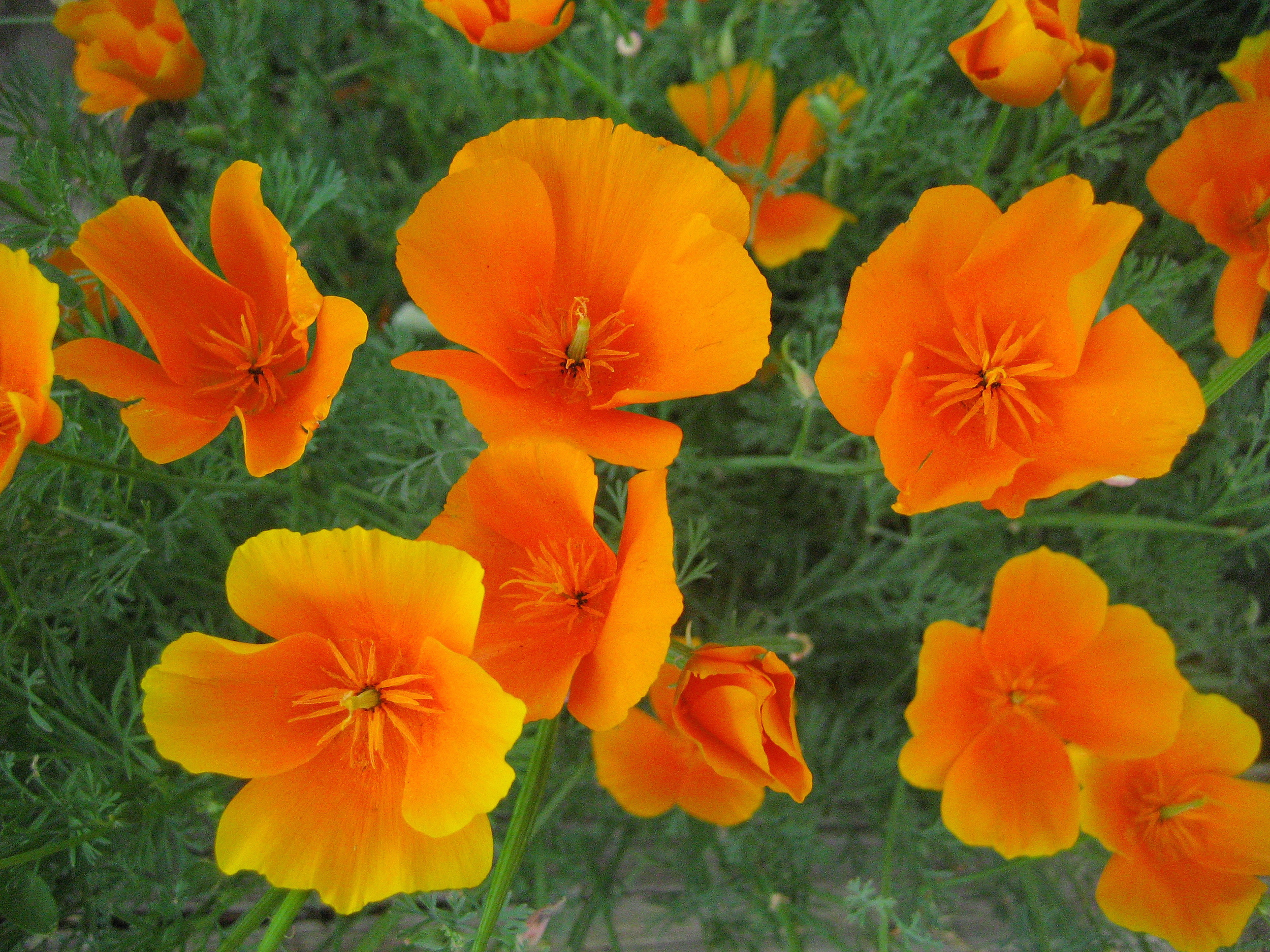 California-orange-poppy-edmonton-stalbert