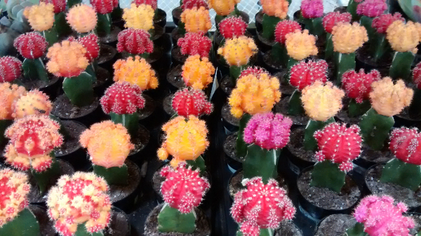 grafted-cacti-cactus-edmonton-stalbert-holes