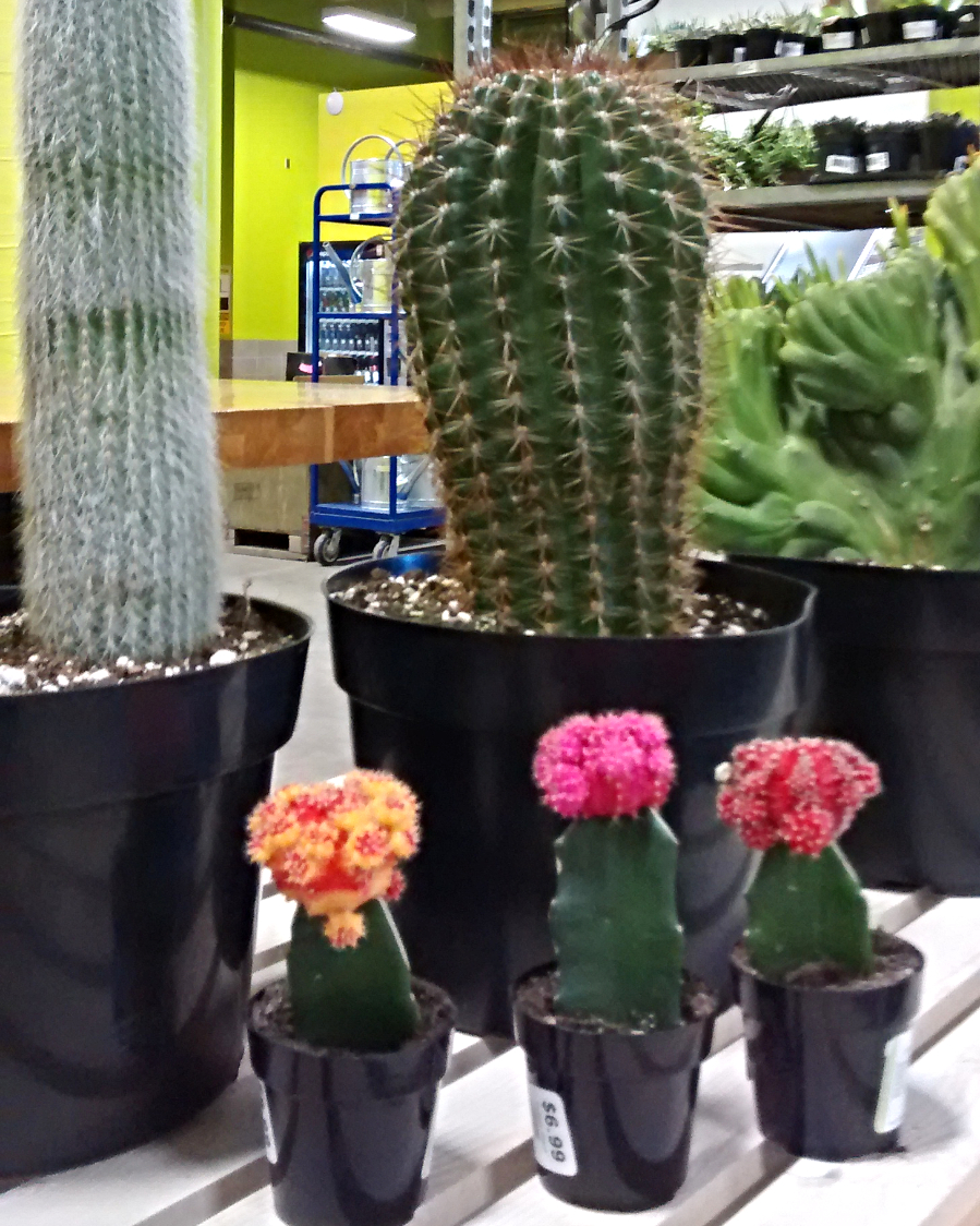 grafted-cactus-cacti-edmonton-stalbert-yeg-holes